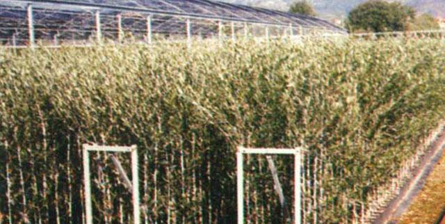 Piante Di Olivo : Piante di olivo riprodotte per innesto talea e