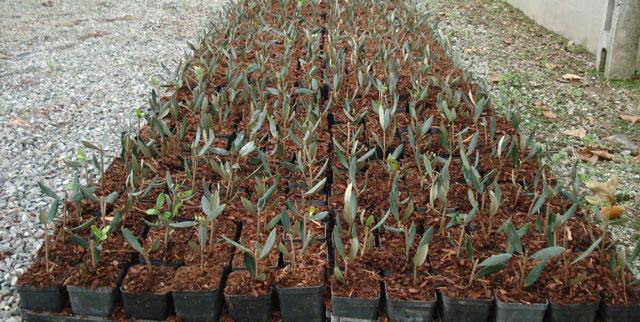 La propagazione delle piante di olivo per innesto e talea for Pianta nocciolo prezzo